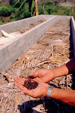 Earthworm culture for soil improvement, Pro Pueblo Foundation, Ecuador  -  Pete Oxford/ npl