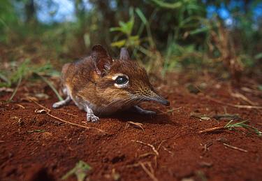 Rufous elephant shrew,Tsavo NP Kenya  -  John Downer/ npl