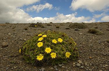 High andean plant (Hypochoeris sp) Chimborazo NP, Andes, Ecuador  -  Pete Oxford/ npl