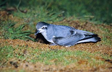 Thin-billed prion at nest burrow at night (Pachyptila belcheri) Falklands  -  Ben Osborne/ npl