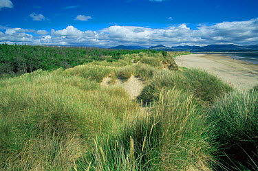 Sand dunes with marram grass colonisation at Newborough Warren nature reserve, Anglesea, Wales  -  Tim Edwards/ npl