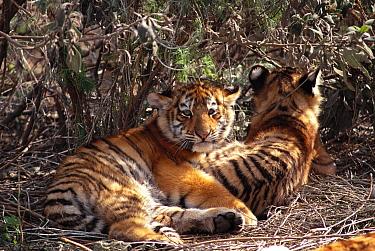 Siberian tiger cubs lying down (Panthera tigris altaica)  -  David Welling/ npl