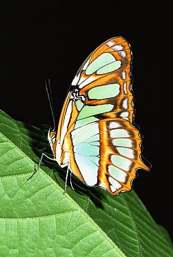 Malachite butterfly (Siproeta stelenes) amazonia, Ecuador  -  Pete Oxford/ npl