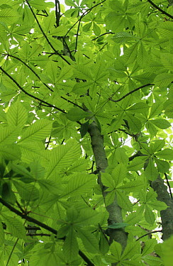 Horse chestnut tree (Aesculus hippocastanum)showing young spring leaves, Sussex, UK  -  Simon Colmer/ npl