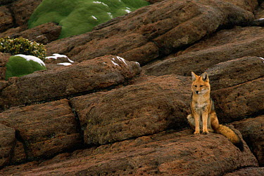 Culpeo, Andean red fox (Pseudalopex culpaeus) Altiplano, Bolivia  -  Pete Oxford/ npl