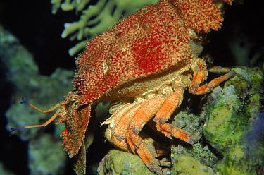 Spanish lobster (Scyllarides sp) Cuba, Caribbean  -  Jurgen Freund/ npl
