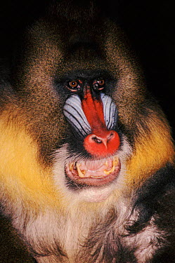 Mandrill portrait close-up Native to West Africa  -  Larry Michael/ npl