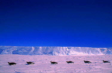 Emperor penguins toboganning, Cape Darnley, Antarctica  -  Pete Oxford/ npl