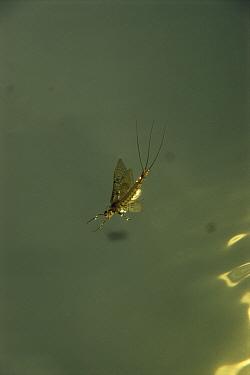 Anglers drake mayfly, newly emerged (Ephemera danica) viewed from underwater, Lough Keye, Ireland  -  Willem Kolvoort/ npl