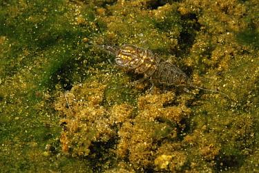 Common freshwater louse (Asellus aquaticus) Holland  -  Willem Kolvoort/ npl