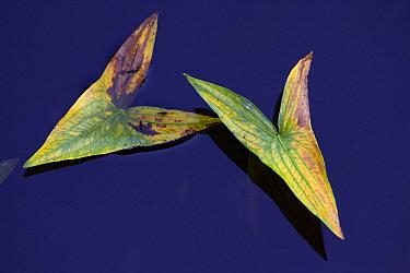 Two leaves of Arrowhead (Sagittaria sagittifolia), in the river Kurowka, Narew National Park, Poland  -  Kerstin Hinze/ npl