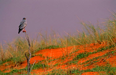 Pale Chanting Goshawk (Melierax canorus) perching on dead bush, Kgalagadi, Transfrontier Park, South Africa  -  Pete Oxford/ npl