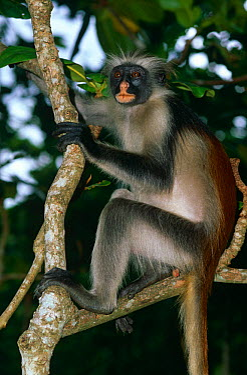 Zanzibar red colobus monkey (Colobus badius kirkii) Jozani Reserve, Zanzibar, Tanzania  -  Nick Garbutt/ npl