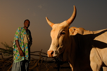 Fulani herdsman with his cattle, South Mauritania, West Africa, 2005  -  Laurent Geslin/ npl