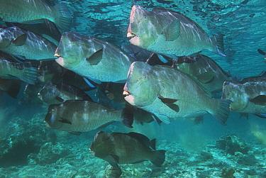Bumphead parrotfish (Bolbometopon muricatum) Sipadan, Malaysia  -  Georgette Douwma/ npl