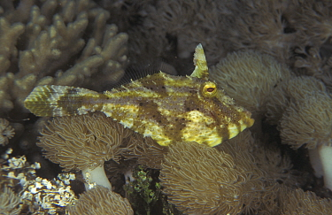 Filefish (Pseudomonacanthus macrurus) Papua New Guinea  -  Jurgen Freund/ npl