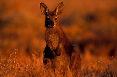 Wallaroo (Euro) (Macropus robustus) Sturt NP, NSW, Australia New South Wales  -  Owen Newman/ npl