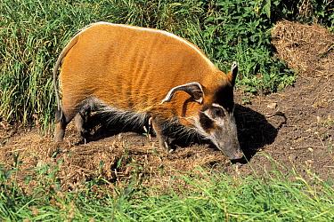 Wild bushpig, Red river hog, female (Potamochoerus porcus) captive, occurs West Africa  -  Rod Williams/ npl