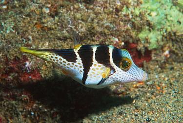 Valentine's sharpnose pufferfish (Canthigaster valentini) Papua New Guinea  -  Georgette Douwma/ npl