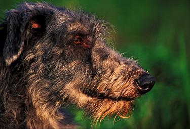 Deerhound, portrait  -  Adriano Bacchella/ npl