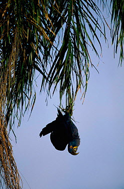 Hyacinth macaw hanging up-side-down in tree, Brazil (Andodorhynchus hyacinthinus)  -  Staffan Widstrand/ npl