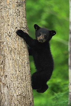 Black bear cub climbing tree {Ursus americanus} Colorado, USA  -  Shattil & Rozinski/ npl