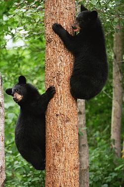 Black bear cubs climbing tree {Ursus americanus} Colorado, USA  -  Shattil & Rozinski/ npl