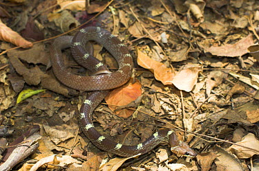 Common Indian Wolf Snake (Lycodon aulicus) on forest floor, Bandhavgarh National Park, India  -  Nick Garbutt/ npl