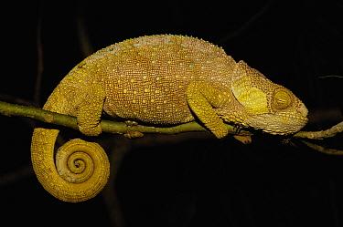 Hilleniusi chameleon (Calumma hilleniusi) female in night sleeping position, South-central MADAGASCAR, endemic  -  Pete Oxford/ npl