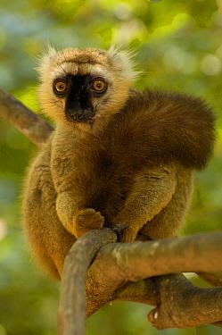 Sanford's brown lemur (Eulemur fulvus sanfordi) Male, Ankarana Special Reserve Northern MADAGASCAR, endemic  -  Pete Oxford/ npl