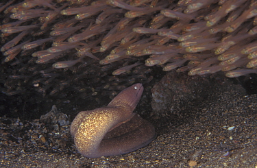 Grey faced moray eel (Siderea thysoidea) and Glassy sweepers, Indo-Pacific  -  Jurgen Freund/ npl