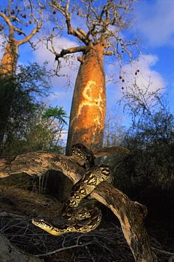 Dumeril's ground boa (Acrantophis dumerili) Ifaty spiny forest, Madagascar  -  Nick Garbutt/ npl