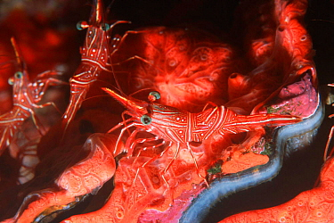 Durban hinge-beak shrimp on red encrusting sponge, Thailand (Rhynchocinetes durbanensis)  -  Georgette Douwma/ npl