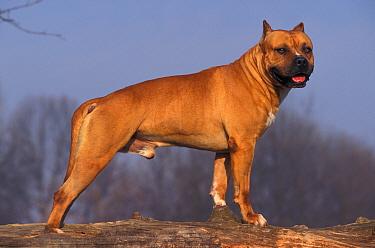 Tan, brown American Staffordshire terrier portrait  -  Adriano Bacchella/ npl