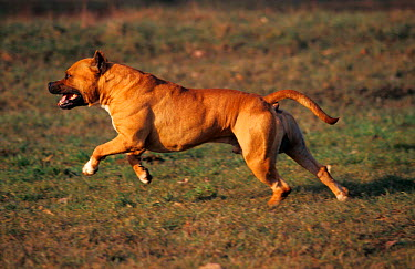 Tan, brown American Staffordshire terrier running  -  Adriano Bacchella/ npl