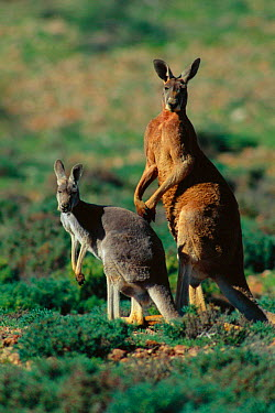 Male and female Red kangaroo (Macropus rufus) Sturt NP, New South Wales Australia Note size and colour dimorphism, variation  -  Owen Newman/ npl