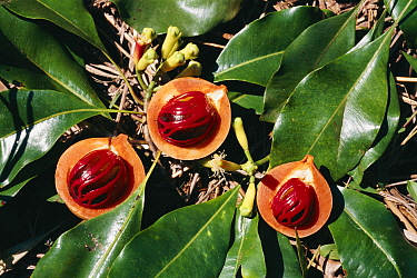Nutmeg and cloves fresh from the tree (Myristica fragrans) Sulawesi, Indonesia, Sangihe talaud islands  -  Jurgen Freund/ npl