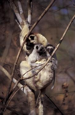Verreaux's sifaka with twins (Propithecus verreauxi) Berenty reserve, Madagascar  -  Dan Rees/ npl