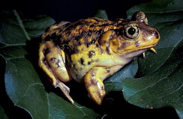 Eastern spadefoot toad (Scaphiopus holbroooki holbrooki) captive  -  Barry Mansell/ npl