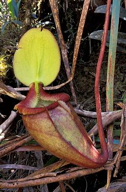 Pitcher plant (Nepenthes kinabaluensis) = N rajah x N villosa, high altitude, Mount  -  Nick Garbutt/ npl