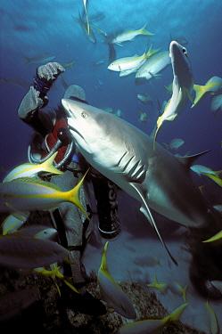 Shark handler feeds fish to Caribbean reef shark (Carcharhinus perezi) Bahamas  -  Jeff Rotman/ npl