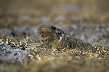Giant mole rat (Tachyoryctes macrocephalus) Bale Mts NP, Ethiopia, endemic  -  Elio Della Ferrera/ npl