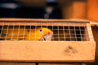 Smuggled birds being held at RSPCA hostel after confiscation at Felixstowe, England, UK 1981  -  Richard Porter/ npl
