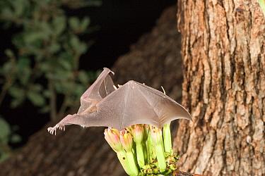Lesser Long-nosed Bat (Leptonycteris curasoae) feeding on Agave flower, North America  -  Barry Mansell/ npl