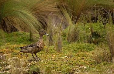 Andean teal duck male (Anas andium) Cajas NP, Ecuador  -  Pete Oxford/ npl