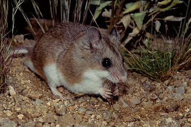 White throated wood rat feeding (Neotoma albigula) Arizona, USA  -  Barry Mansell/ npl