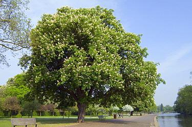 Horse chestnut (Aesculus hippocastanum) flowering in Regent's Park, UK  -  Georgette Douwma/ npl