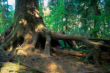 Hoh tree with elevated roots having grown from nurse log, Olympic NP, Washington, USA  -  Tim Edwards/ npl