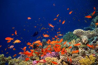 Coral reef scenery with orange Scalefin anthias fish (Pseudanthias squamipinnis) Red Sea, Eygpt  -  Georgette Douwma/ npl