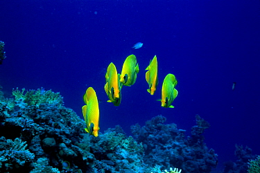 Golden butterflyfish (Chaetodon semilarvatus) Red Sea, Eygpt  -  Georgette Douwma/ npl